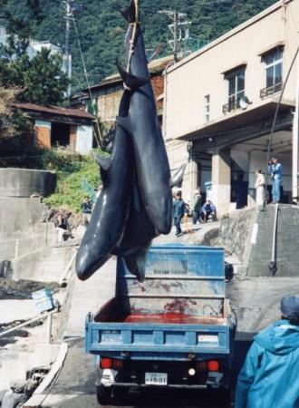 Dolphins: Massacre in Taiji (Japan).  Japanese kill dolphins, dolphins in Japan.