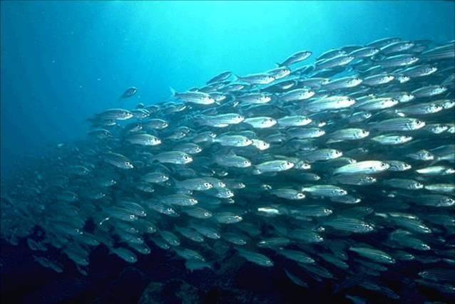 Косяки рыбы