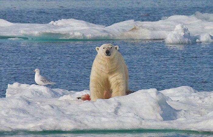 Полярный медведь-каннибал