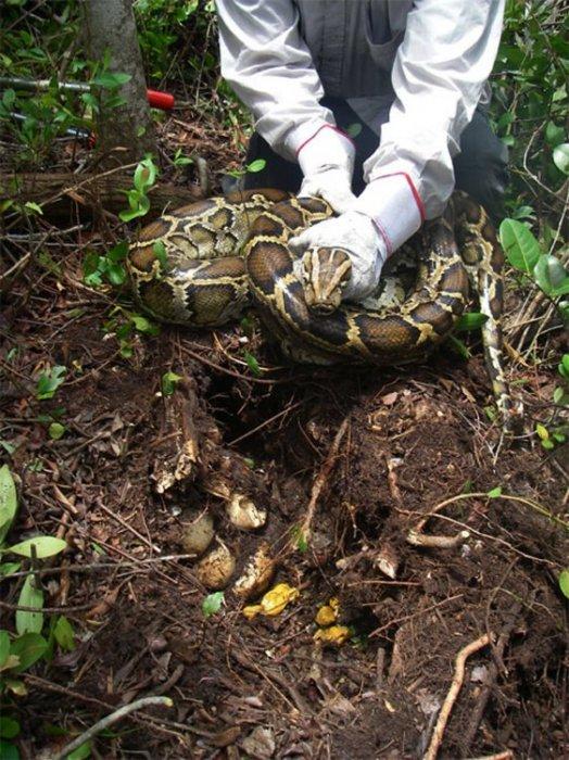 Гигантские питоны угрожают Флориде