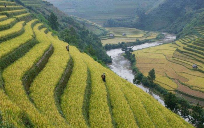 Рисовые поля снизу и сверху