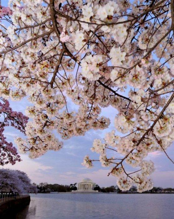 Фестиваль цветения сакуры в Вашингтоне 2012